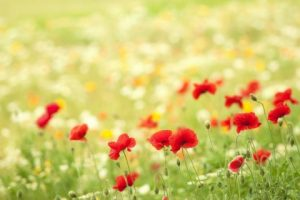146434__poppies-flowers-meadow-summer-nature-bokeh_p-e1437337962466